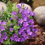 Ultra violet Campanula