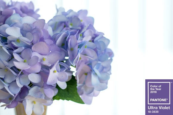 Close up of fresh hydrangea with white blackground isolated