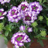 Ultra Violet Verbena